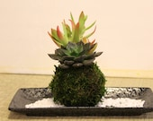 Arranged Succulent Kokeda...