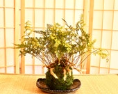 Rabbit foot Fern Kokedama...