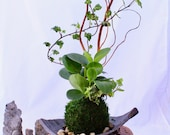 Arranged Kokedama with pe...