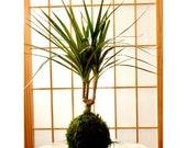 Dracaena Marginata Kokedama - Popular plant- last long. Low light is ok! Good indoor plant.