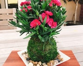 Carnation Kokedama - Moss ball with beautiful color carnation. Best gift for Mother's Day! Lots of new buds keep blooming!