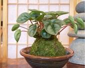 Silver Ripple Peperomia, Kokedama, Japanese traditional indoor moss ball garden