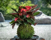 Crown of Thorn Kokedama -...