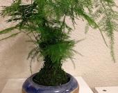 Asparagus fern Kokedama -...