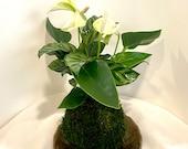 Anthurium and Calathea kokedama -- Bonsai Moss ball -  house decor with Japanese technique plants!