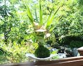 Dracaena and Pink Syngonium arranged kokedama -- Bonsai Moss ball -  house decor with Japanese technique plants!