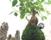 Banyan tree(Ginsen Ficus) Kokedama - Tree that bring happiness! Feel the forest, easy maintenance!