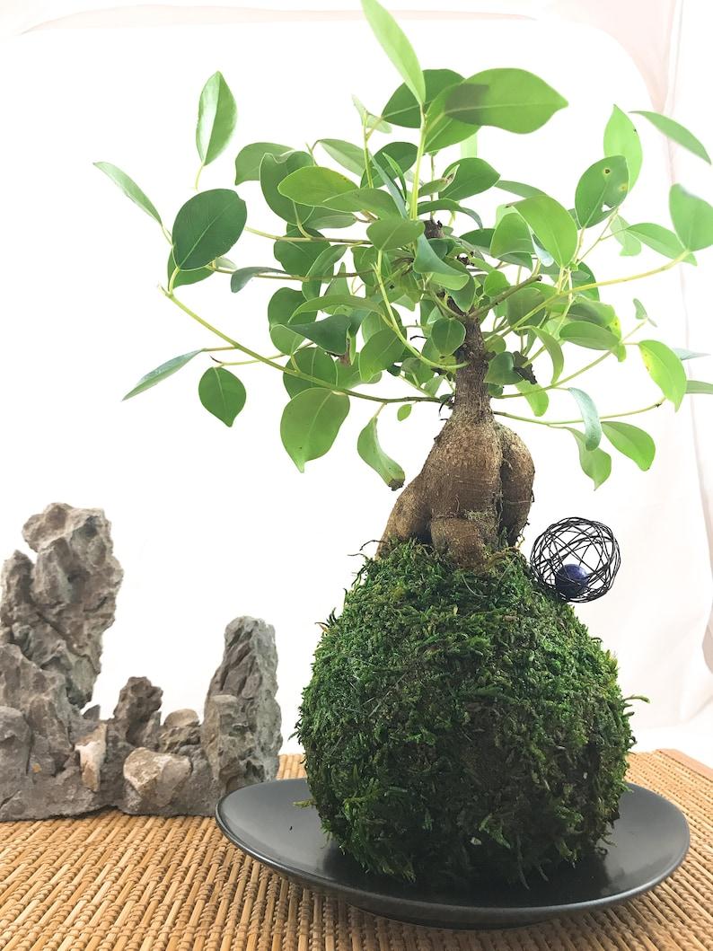 Banyan treeGinsen Ficus Kokedama  Tree that bring image 0