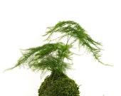 Small Asparagus fern Kokedama - Bonsai Moss ball. Attractive herbaceous, lace-like foliage perennial plant.