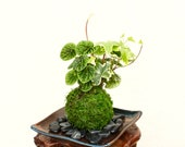 Ripple peperomia and ivy arranged Kokedama - Moss ball, Japanese ancient botanical technique.