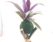 Moses in the cradle Kokedama - Bonsai Moss ball - Japanese house plant decoration