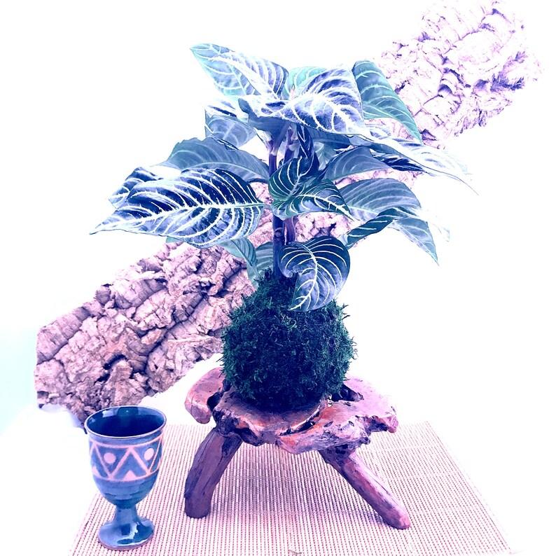 Large Zebra large plant kokedama mossball Japanese image 0