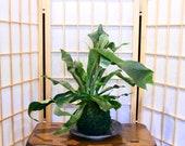 Large Staghorn Kokedama,  Japanese traditional indoor garden technique