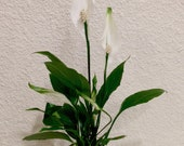 Spathy phyllum, Beautiful white Peace lily Kokedama - Moss ball.