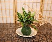 Zebra Calathea and Foxtail fern arranged kokedama -- Bonsai Moss ball -  house decor with Japanese technique plants!