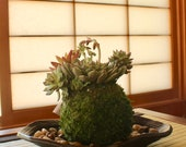 Assorted arranged Succulent Kokedama - Moss ball