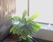 Zebra, Calathea, Kokedama - Bonsai Moss ball - Japanese house plant decoration
