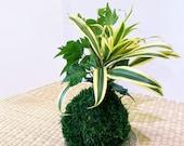 Arranged Kokedama with Song of india and Ivy Kokedama, Japanese botanical art!