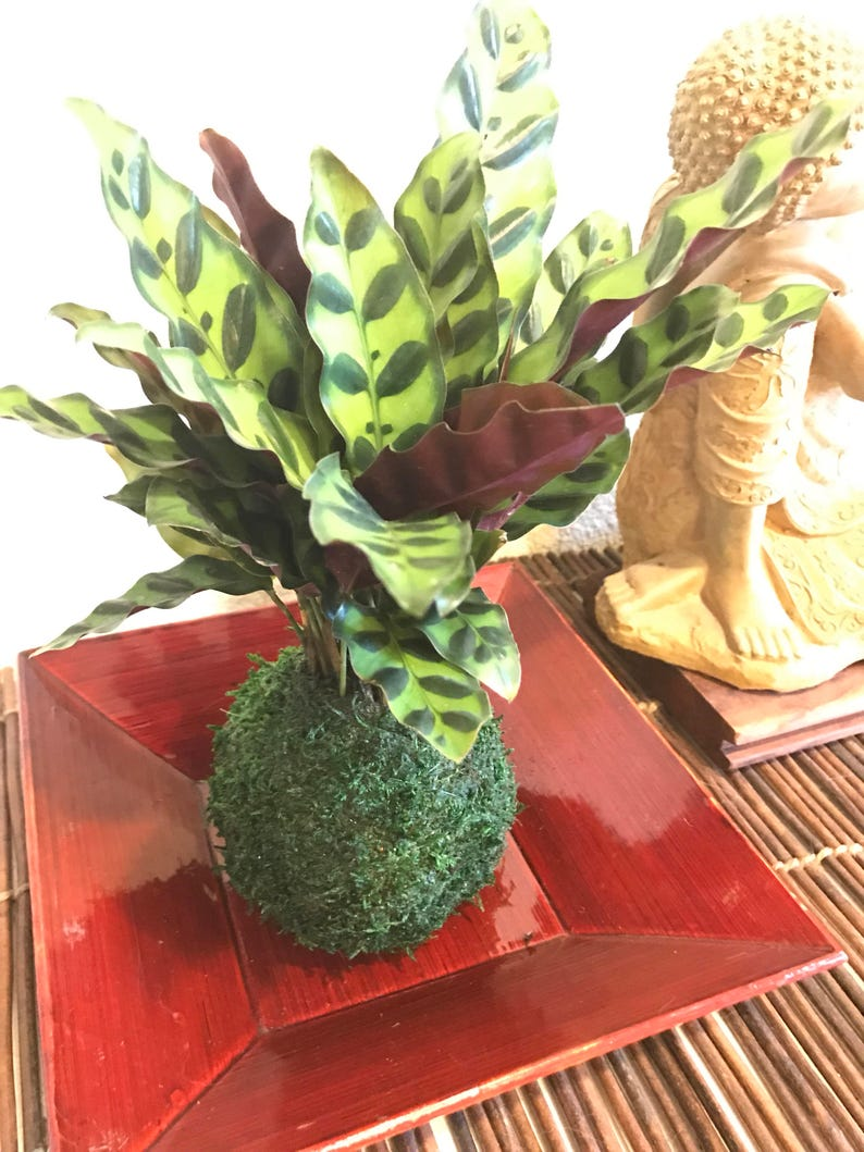 Kokedama Calathea Rattlesnake Japanese house plant decoration Bonsai Moss ball