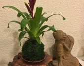 Kokedama - Moss ball, Vriesea Red and Yellow Bromeliad!