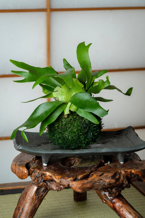 Tremendous Japanese Traditional Indoor Garden Technique Kokedama Moss Ball With Staghorn Small Pabps2019 Chair Design Images Pabps2019Com