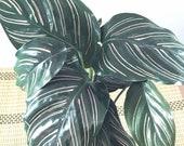 Calathea Pin - Stripped Ornata Starter Plant  Kokedama - Bonsai Moss ball -  house decor with Japanese technique plants!