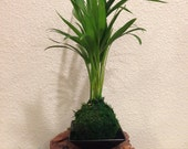 Kokedama - Moss ball with Maya Palm, easy care, long lasting. Japanese traditional indoor garden technique.