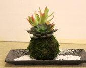 Arranged Succulent Kokedama - Moss ball