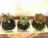 Mini succulents Kokedama - lowest price if you buy three! Available from one kokedama purchase.