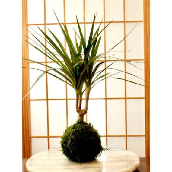 Dracaena Marginata Kokedama Popular Plant Last Long Low Etsy