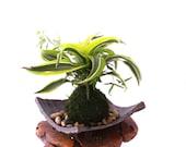 Arranged Kokedama with Lemon Lime Warneckii Dracaena and Ivy Kokedama, Japanese botanical art!