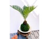 Sago Palm Kokedama - Sago palm, king sago, cycad, Japanese sago