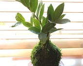 Zee Zee plant Kokedama - Moss ball, easy care, last long, hardy plant with shiny leaf!