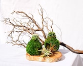 Cactus Kokedama - Japanese Living Art - Moss ball