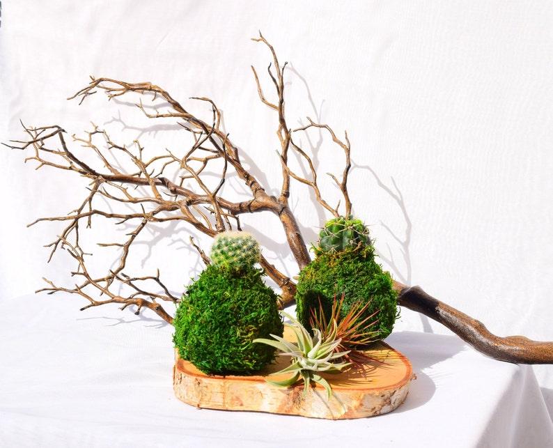 Cactus Kokedama  Japanese Living Art  Moss ball image 0
