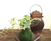 Kokedama - Works good with ecocube. Moss ball with fresh green color Variegated Ivy!