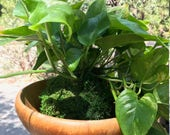 Large Devil's Ivy (Pathos) Kokedama-Feel the forest feeling in your house!