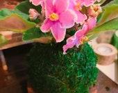 Pink African Violet Kokedama - Japanese indoor garden technique Moss ball