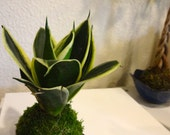Sansevieria Kokedama - Moss ball with Sansevieria, Best houseplant to improve indoor air quality. Drought tolerant plant!