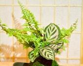 Calathea and fern arranged kokedama -- Bonsai Moss ball -  house decor with Japanese technique plants!