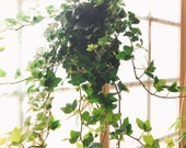 Kokedama-Large Ivy great idea for hanging, Forest feeling.
