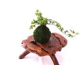 Mini Ivy Kokedama - Japanese botanical art, moss-ball with live ivy plant.