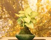 White Butterflly Nephthytis Syngonium Podophyllum White Green color Kokedama - Bonsai Ball - house plant