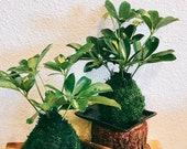 Variegated Schefflera Plant Kokedama - Moss ball, Japanese Traditional Garden Technique