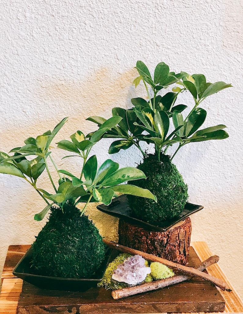 Variegated Schefflera Plant Kokedama  Moss ball Japanese image 0