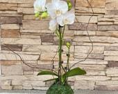 White Orchid Kokedama Ikebana taste, Moss ball with beautiful white-two stem orchid