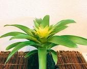 Vivid Yellow color, Bromeliad, Guzmania Kokedama - Moss ball.