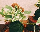N-Joy Pothos Kokedama - Moss ball - Japanese Living Art