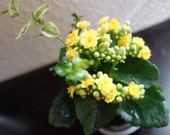 Medium size Kalanchoe Kokedama - Moss ball with blooming flower with many new buds!
