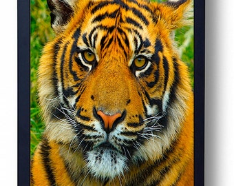 The Last Tiger in The Wild PhotoArt